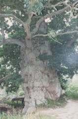 Chêne à Guillotin papy