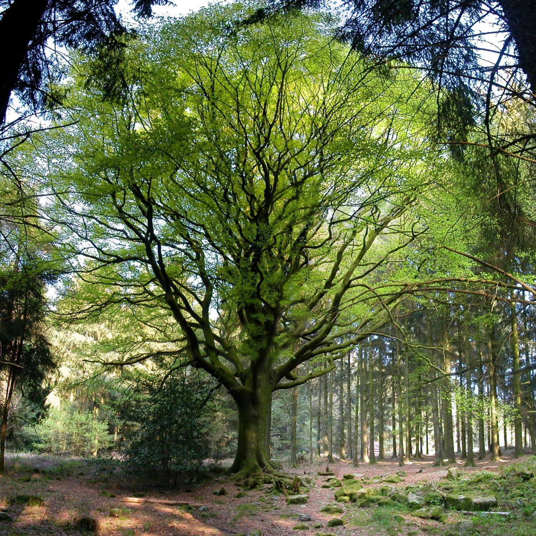 Préférence Le hêtre de Ponthus, forêt de Brocéliande (Ille-et-Vilaine  RF15