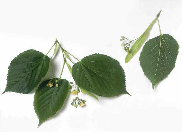 Reconna tre les arbres krapo arboricole - Tilleul a grandes feuilles ...