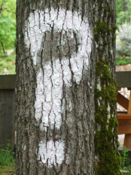 Chêne tricéphale Pech Merle 2