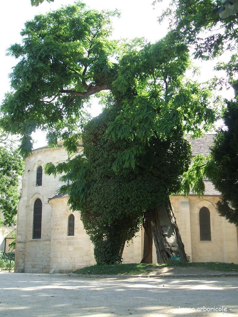 Robinier plant en 1602 square saint julien le pauvre for Plante 1 euro paris