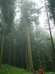sapin president forêt de Joux 1