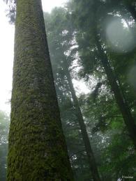 sapin president forêt de Joux 2