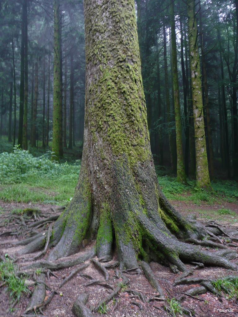 Sapin pr sident for t de la joux jura krapo arboricole - Sapin artificiel haut de gamme ...