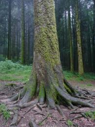 sapin president forêt de Joux 3