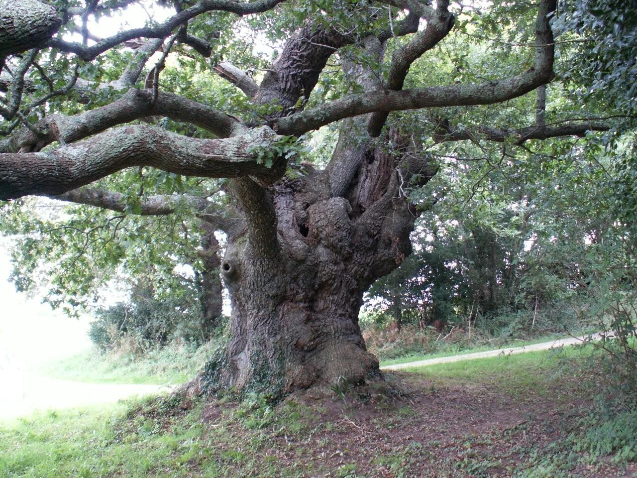 Etreindre des arbres est bon pour la santé Le-chene-de-riec-sur-belon-1