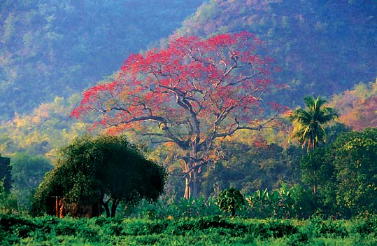 shan state the red tree myanmar