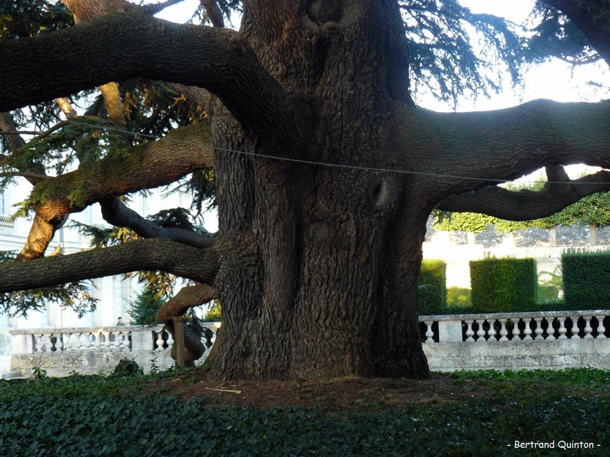 R sultats de recherche krapo arboricole page 211 - Cedre bleu du liban ...