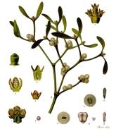 Gui botanique