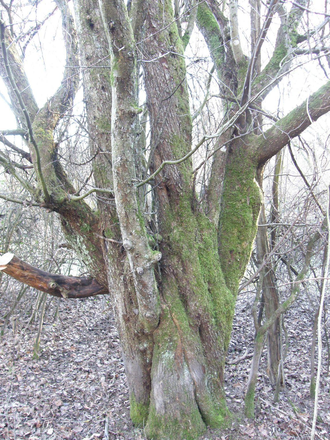 Ch nes et pommier sauvage for t de sarre union bas rhin krapo arboricole - Quand tailler un pommier ...