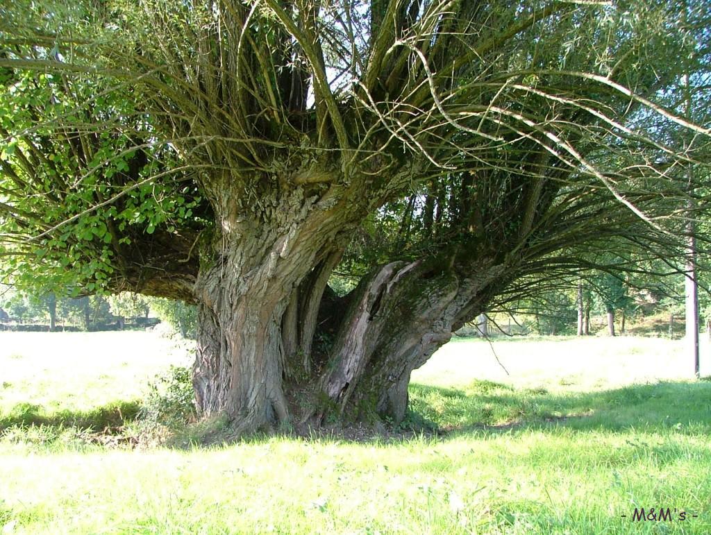 Vieux saule t tard th gra lot krapo arboricole for Mobiliar 3 saule