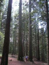 Abies grandis - Arboretum de la Foux