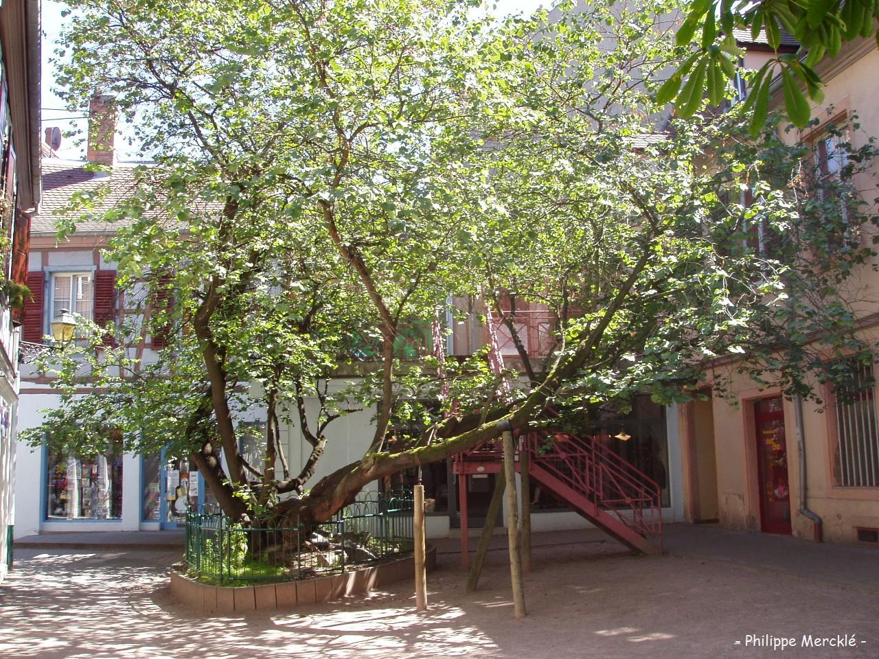 arbre de jud e cour waldner stephan colmar haut rhin krapo arboricole. Black Bedroom Furniture Sets. Home Design Ideas