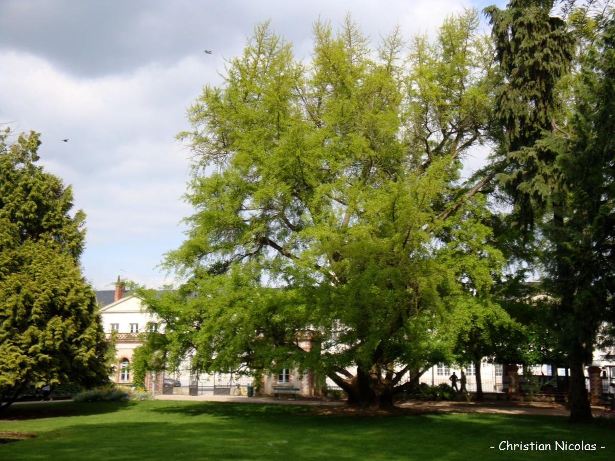 Ginkgo biloba jardin botanique tours indre et loire for Jardin botanique tours