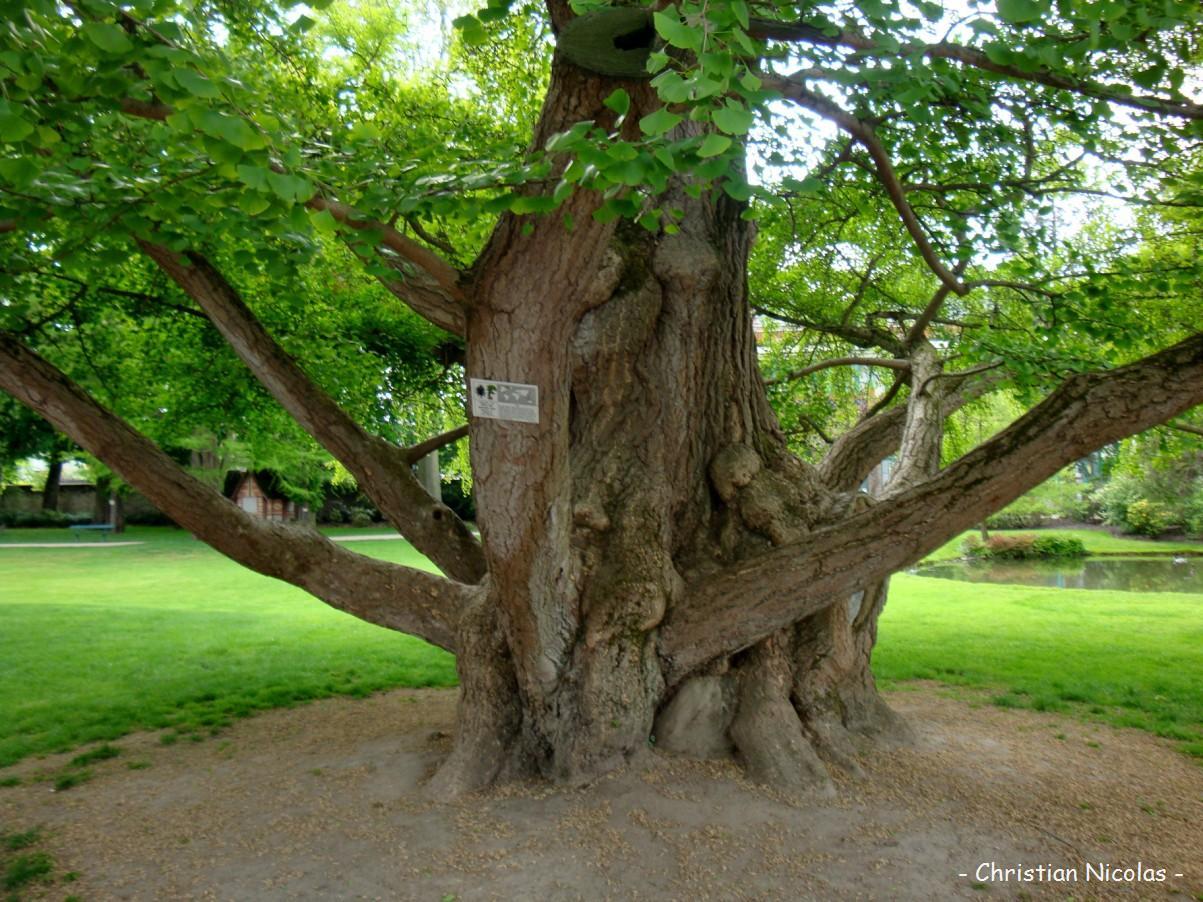 Ginkgo biloba krapo arboricole for Jardin botanique tours