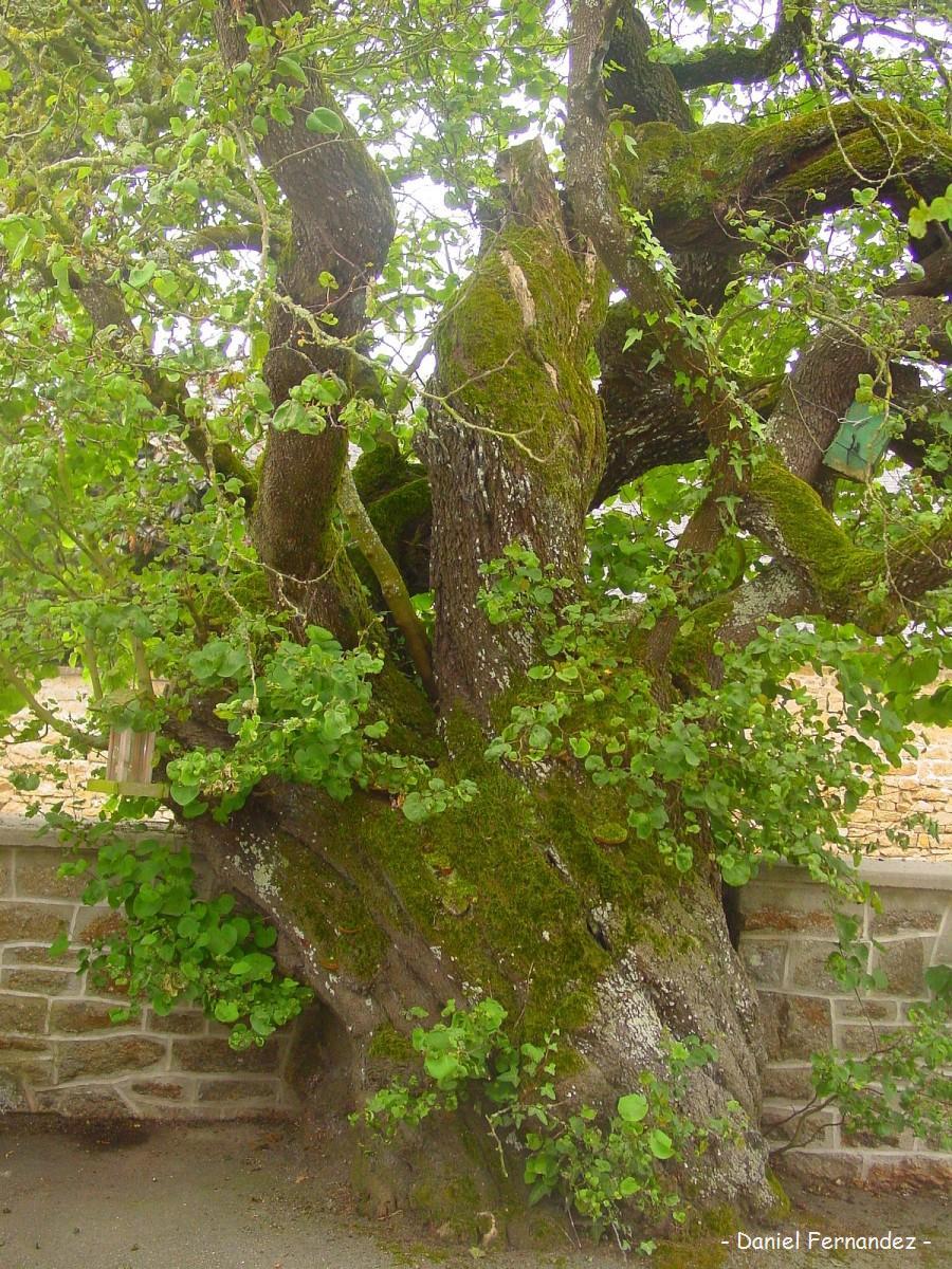 Arbre de jud e la bazoge montpin on mayenne krapo arboricole - Arbre de judee photo ...