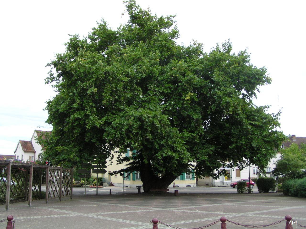 le platane de lutterbach (haut-rhin) | krapo arboricole