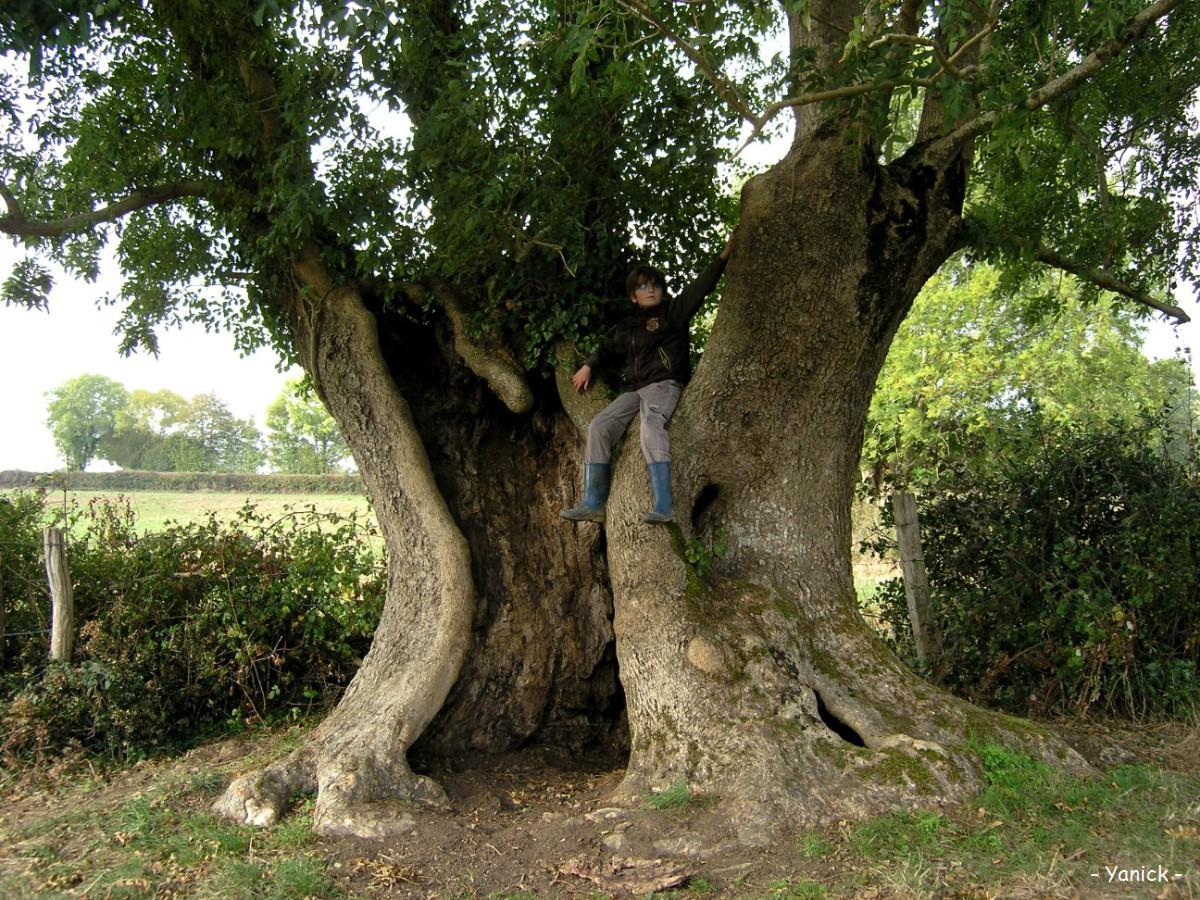 Fr ne de flayes verruyes deux s vres krapo arboricole - Reconnaitre les arbres par leur tronc ...