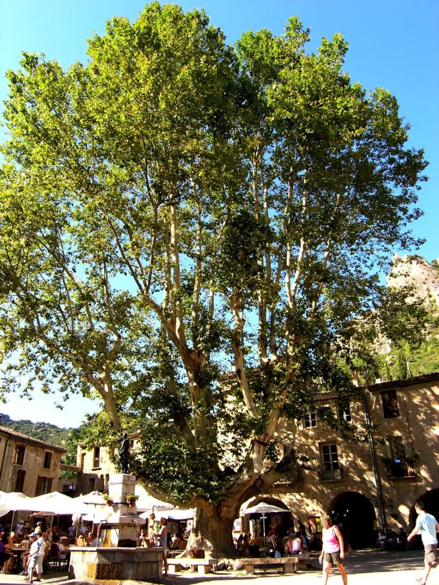 le roi platane, saint-guilhem-le-désert (hérault) | krapo arboricole