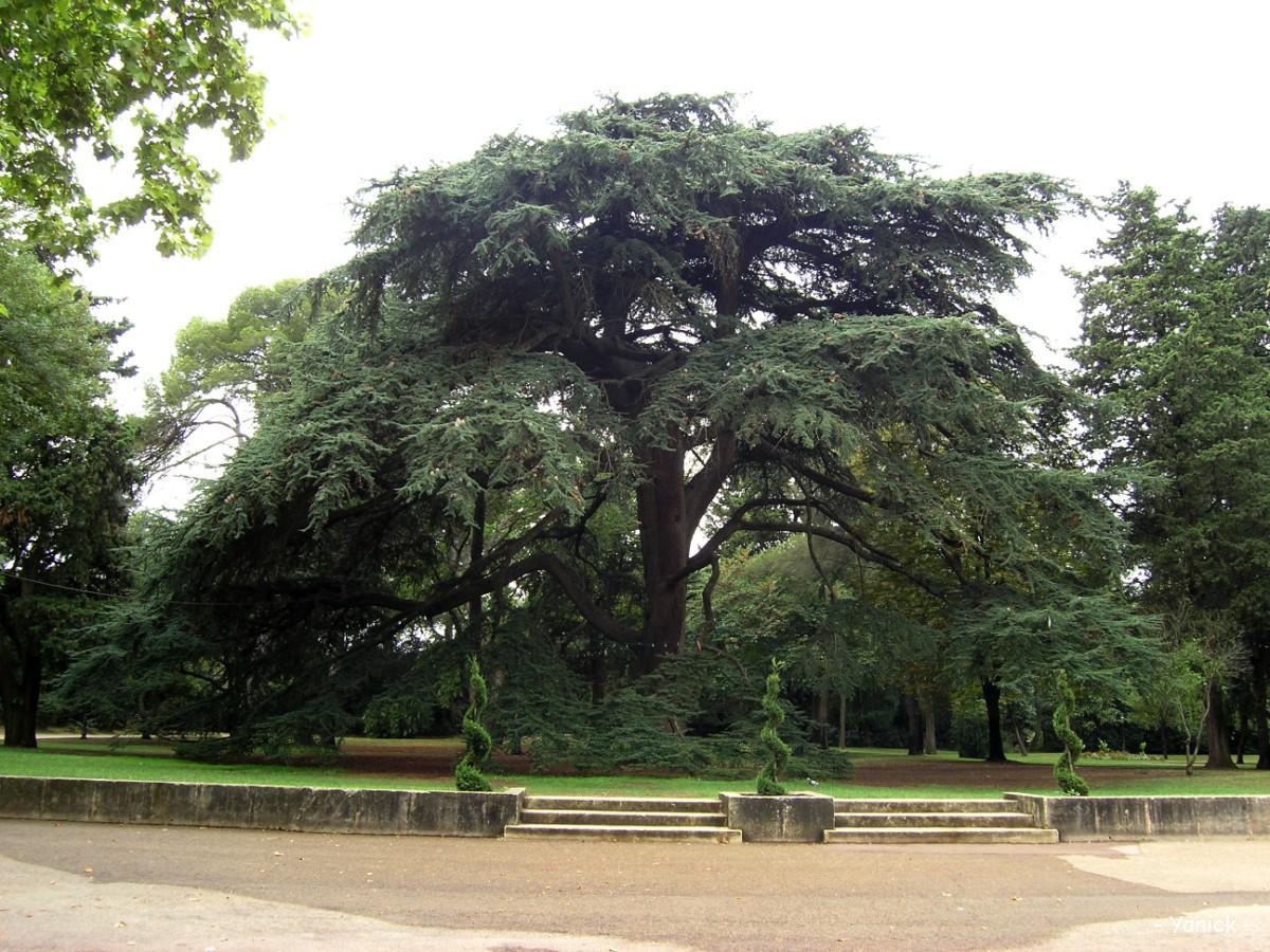 C dre de l atlas parc de grammont montpellier h rault krapo arboricole - Cedre bleu du liban ...