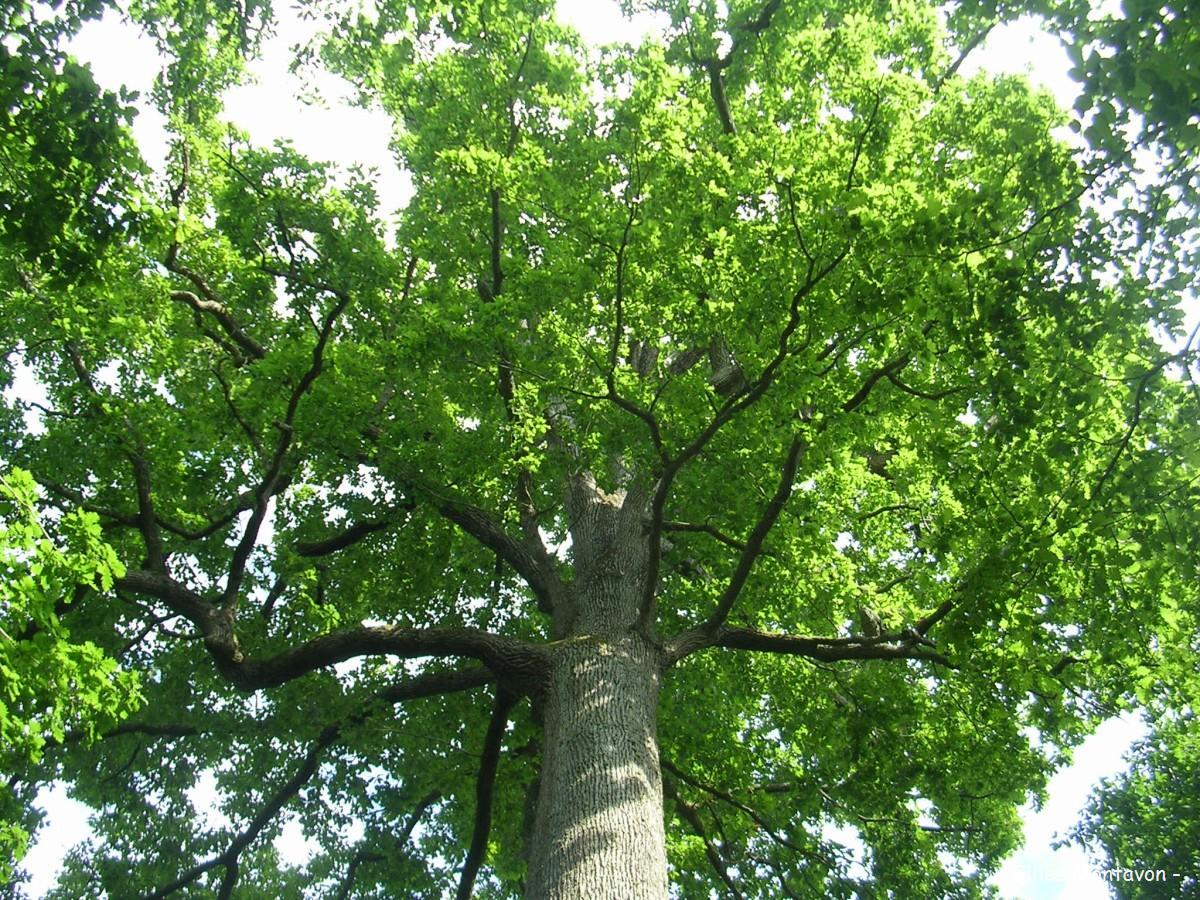 Ch ne stebbing for t de tron ais allier krapo arboricole - Reconnaitre les arbres par leur tronc ...