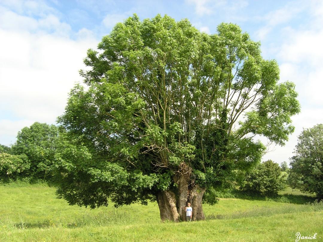 Le chêne et le frêne de Vuzé, la Chapelle-Bâton (Deux ...