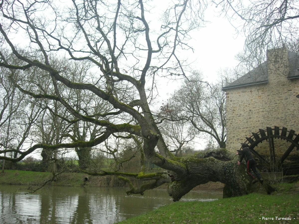 Le ch ne de l ancien moulin mouais loire atlantique krapo arboricole - Le port du moulin champtoceaux ...