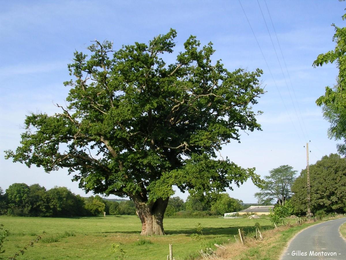Le gros ch ne de veslon barlieu cher krapo arboricole for Duree de vie d un chene