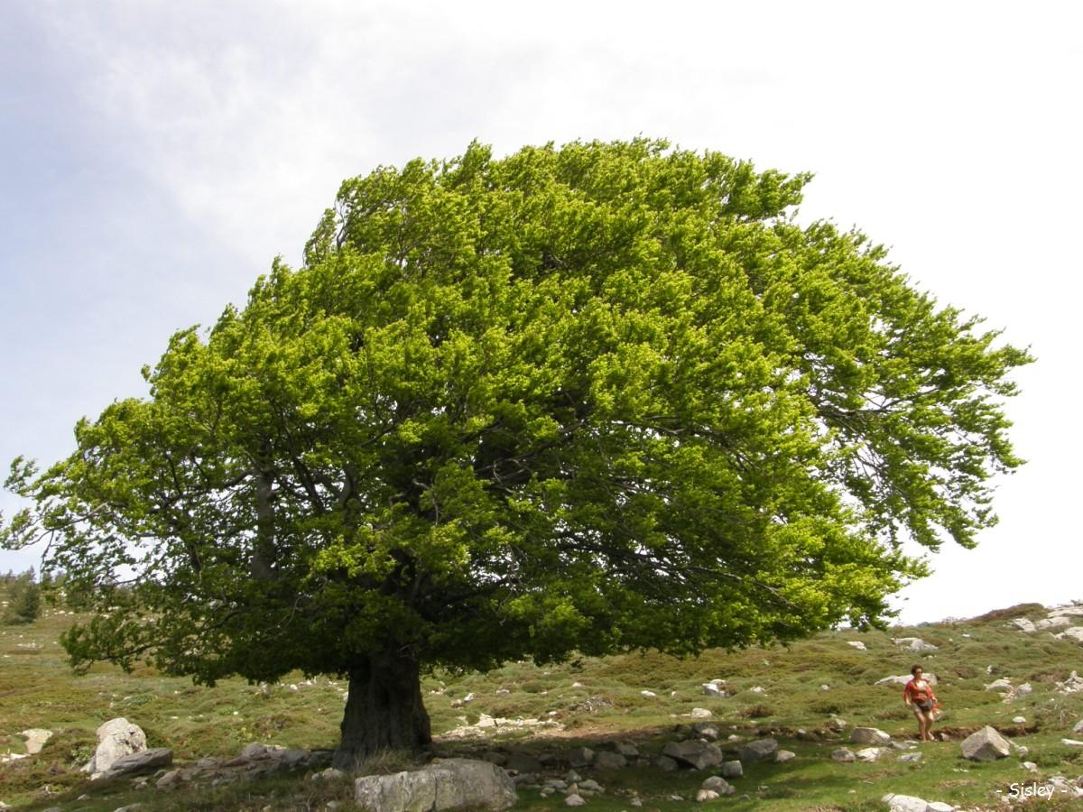 Fagus Sylvatica 301 Moved Permanently