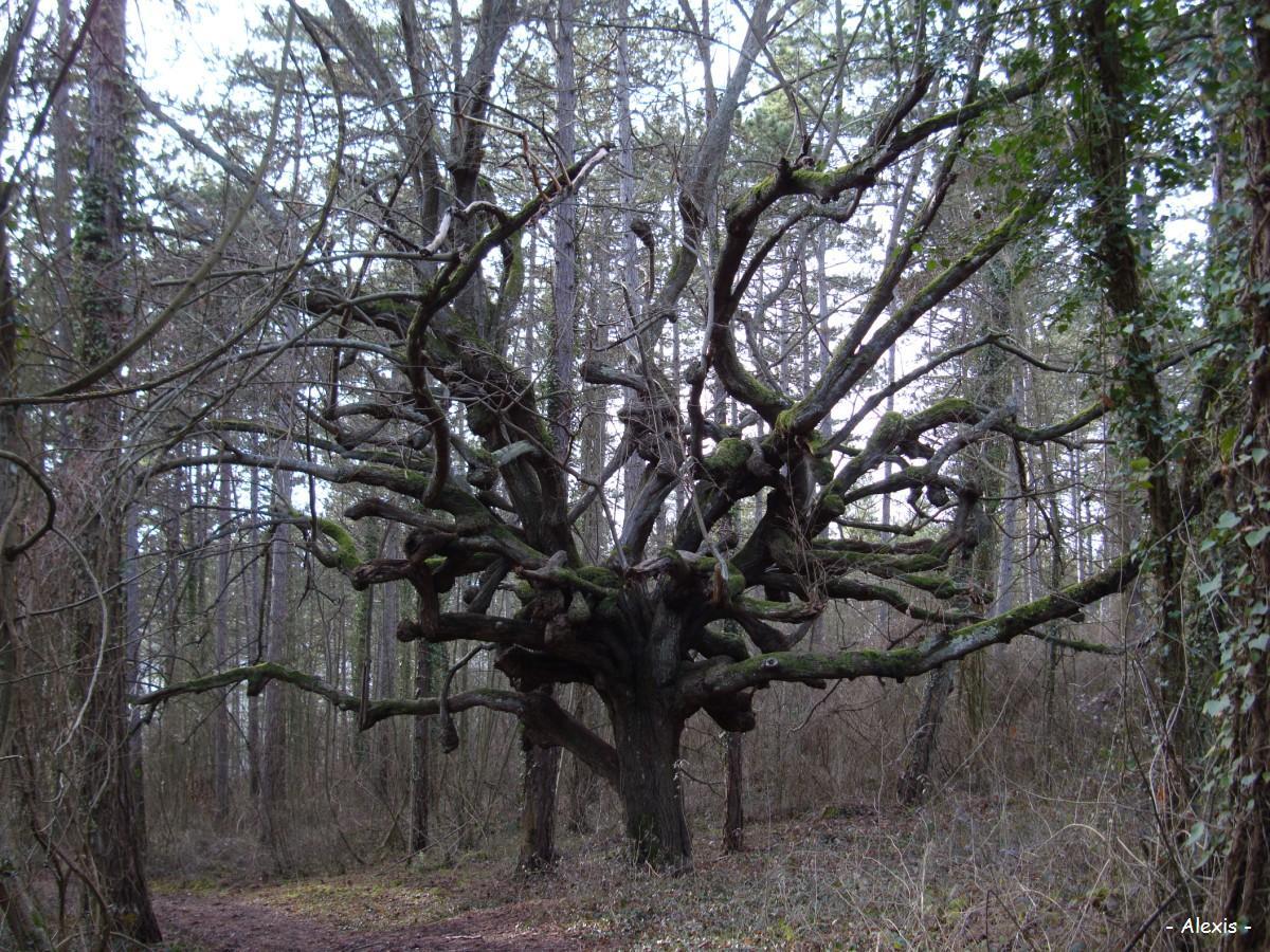 un tilleul myst rieux le bois ricard heudreville sur eure eure krapo arboricole. Black Bedroom Furniture Sets. Home Design Ideas