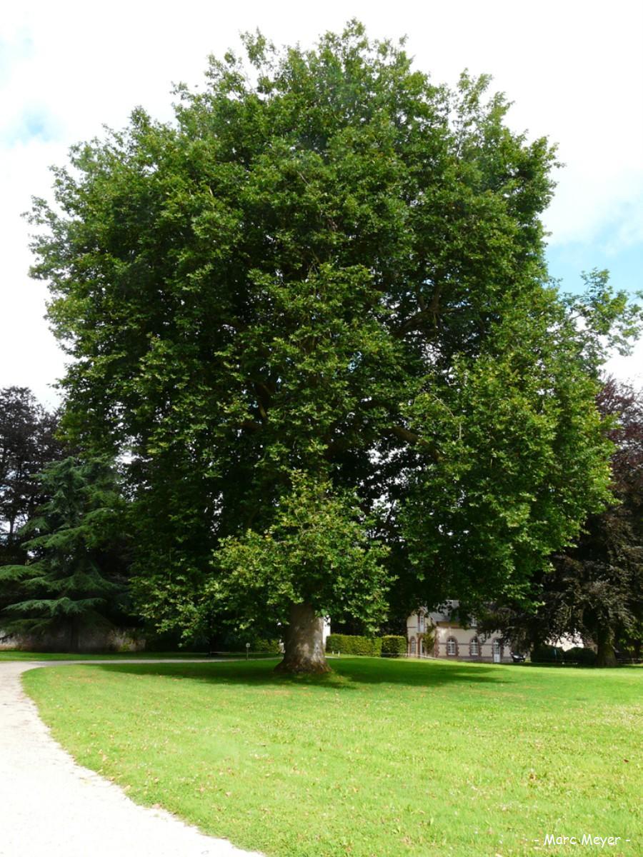 platane de l'abbaye notre dame des près, valmont (seine-maritime