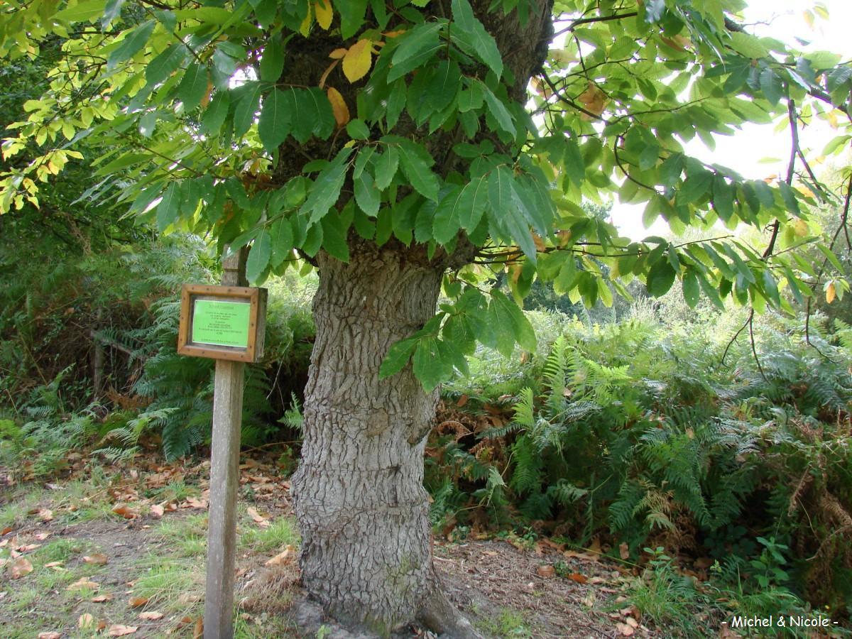 Ch ne chataignier saint mars d outill sarthe krapo - Reconnaitre les arbres par leur tronc ...