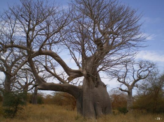 arbre-elephat-baobab