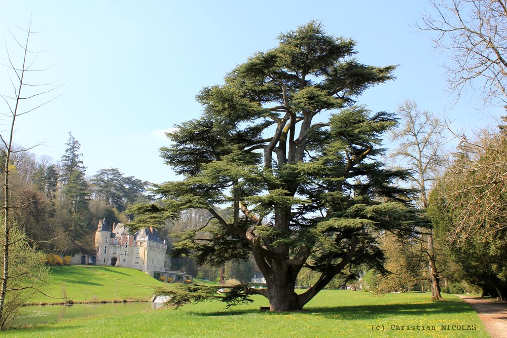 Vir e arboricole en indre et loire krapo arboricole - Cedre bleu du liban ...