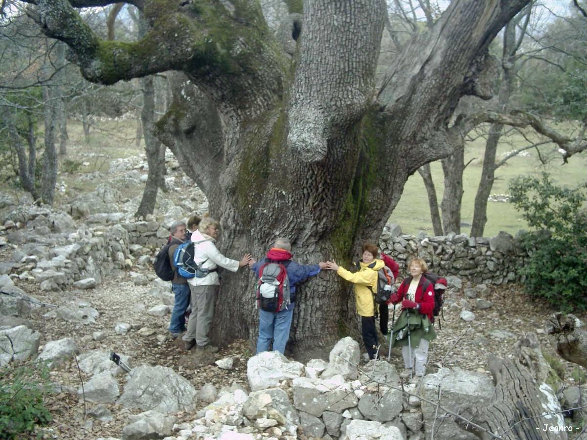 La Gaude France  city pictures gallery : Le gros chêne du Baou de La Gaude, Saint Jeannet Alpes Maritimes ...
