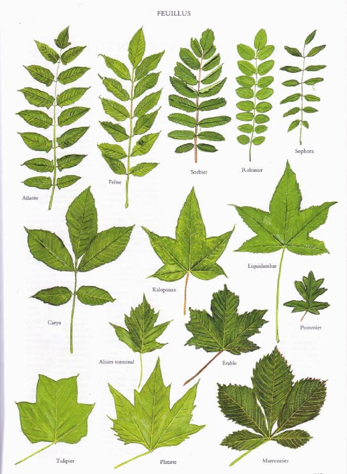 identification arbres et arbustes