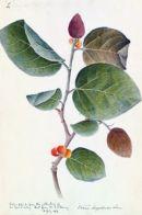 botanique-banyan-tree