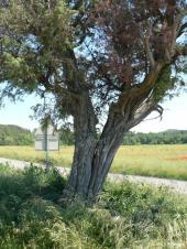 Genévrier cade Saint-Hippolyte-de-Caton 3