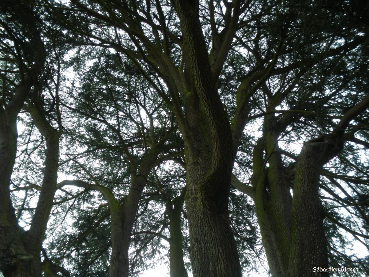 Le cèdre de BoisGuillaume (SeineMaritime)  Krapo arboricole