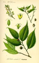celtis-australis-micocoulier