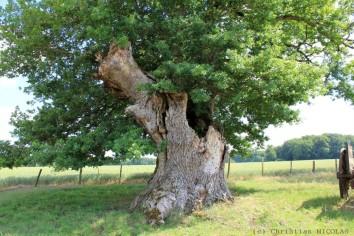 Chêne de La Casse 4