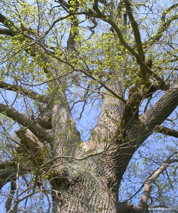 Chêne de La Brosse 3