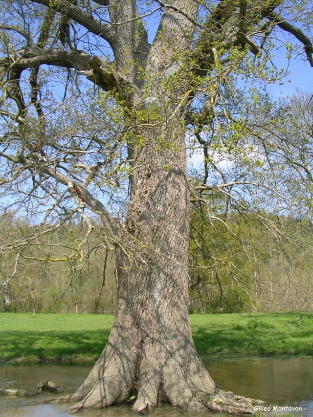 Chêne de La Brosse 4