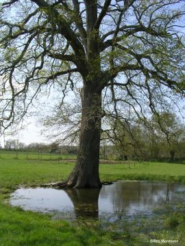 Chêne de La Brosse 2