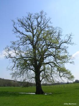 Chêne de La Brosse 1