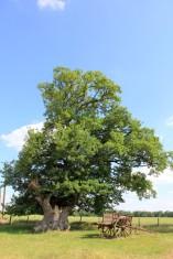 Chêne de La Casse 3