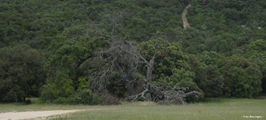 Chêne vert de Poulx - Juin 2010