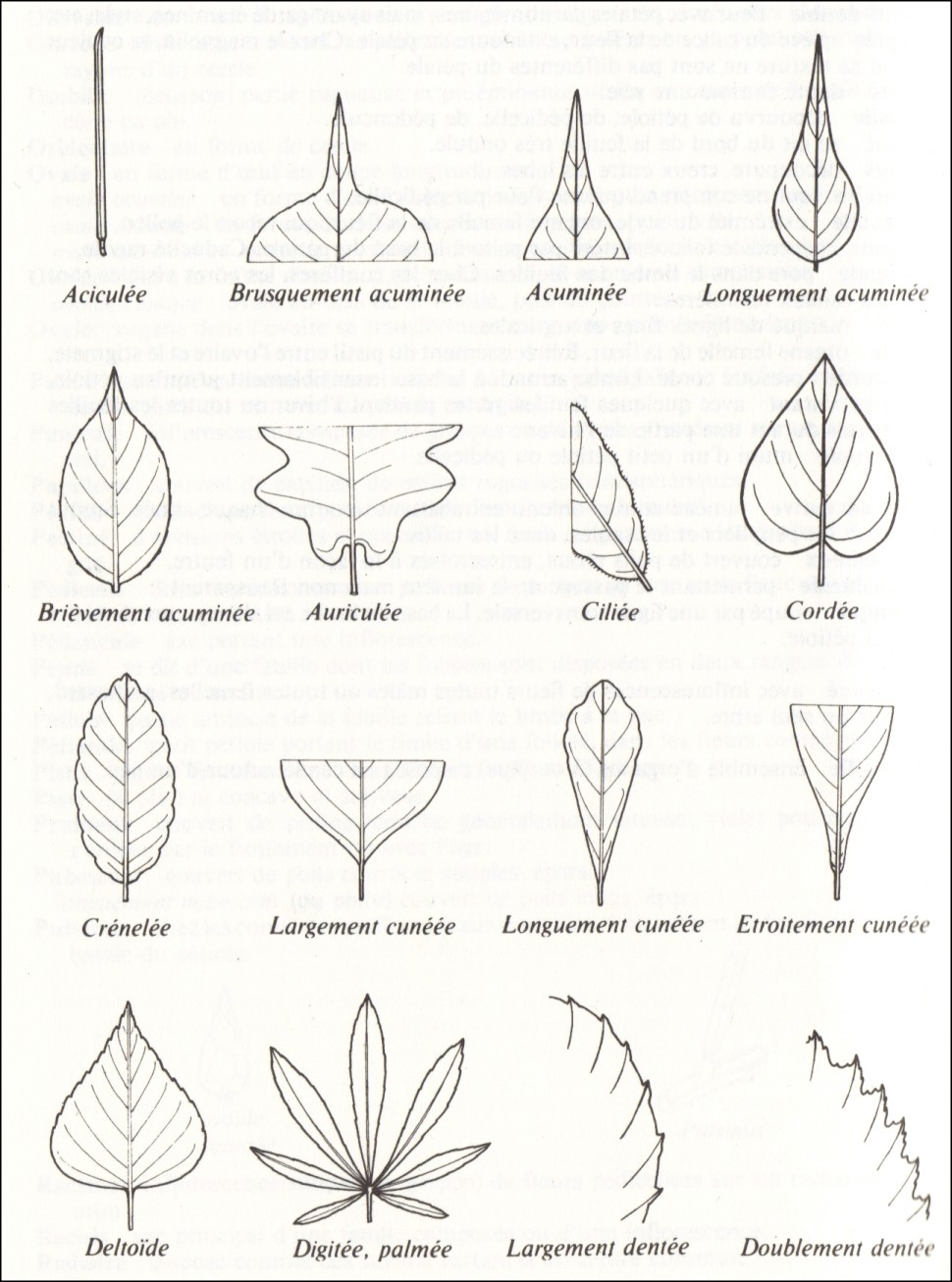 La plupart des feuilles ont en général leurs caractéristiques moins