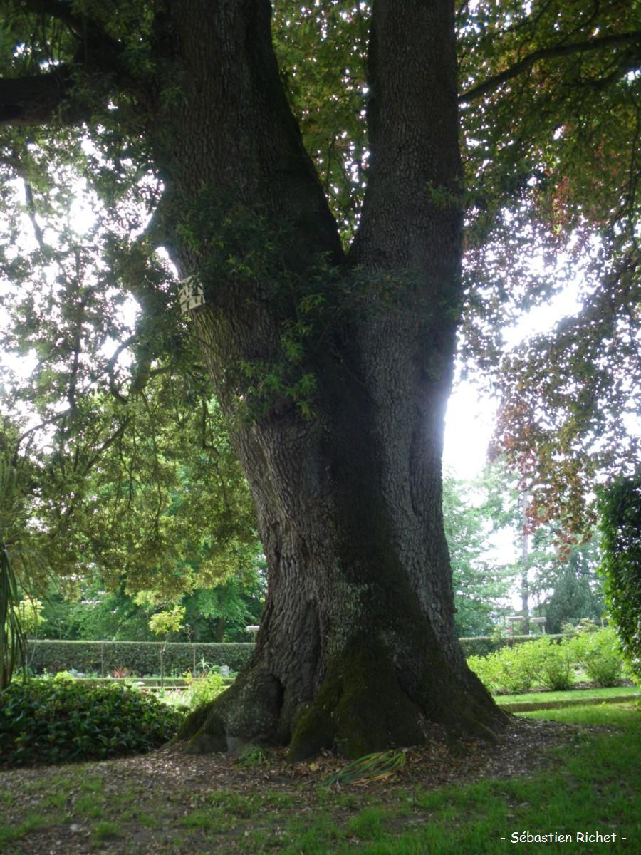 Quelques arbres du jardin des plantes de coutances manche - Maladie du chene vert arbre ...