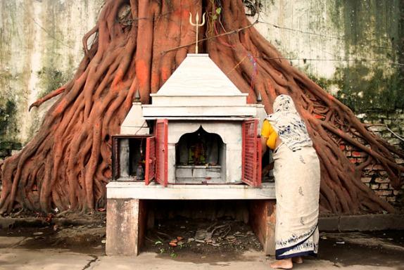 pipal-bodhi-tree-ficus-religiosa